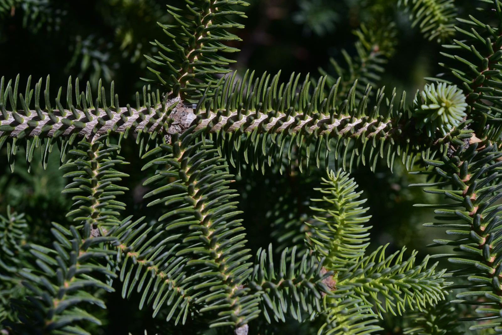 Abies Pinsapo Trees And Shrubs Online