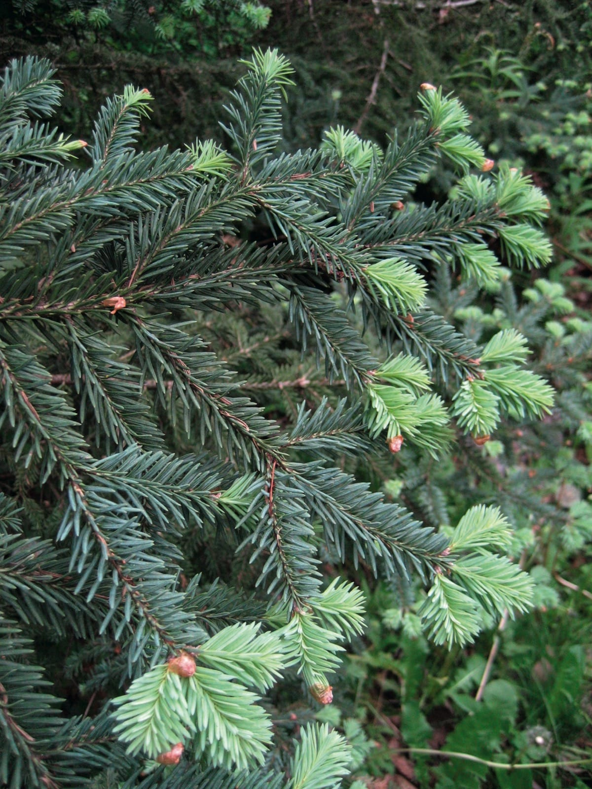 Abies Vejarii Trees And Shrubs Online