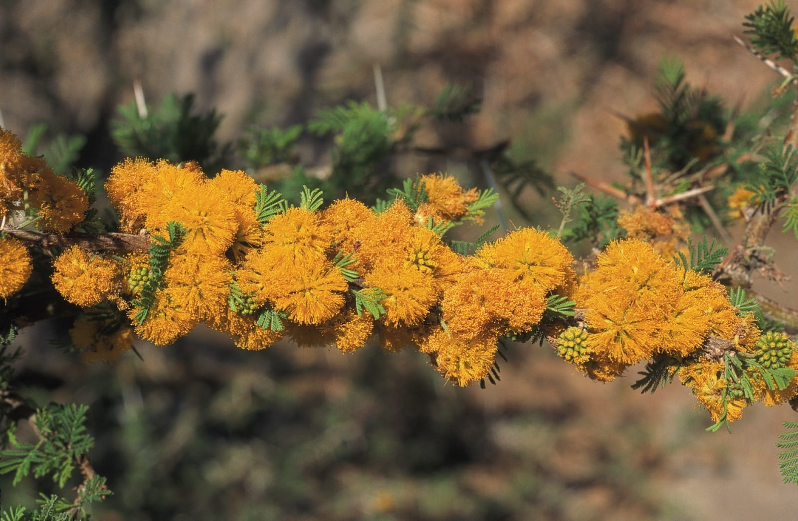 Acacia Caven Trees And Shrubs Online