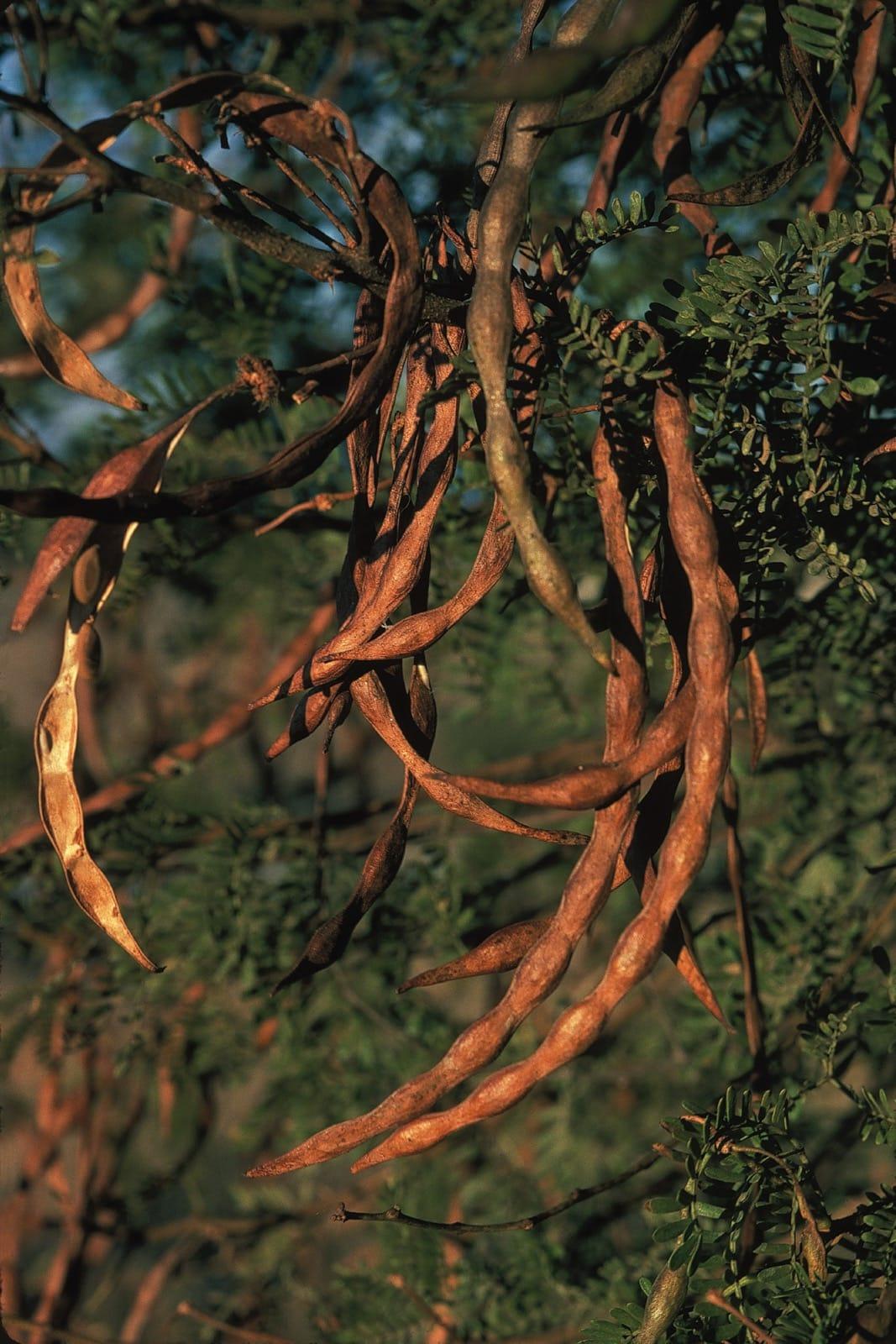 Acacia Karroo Trees And Shrubs Online