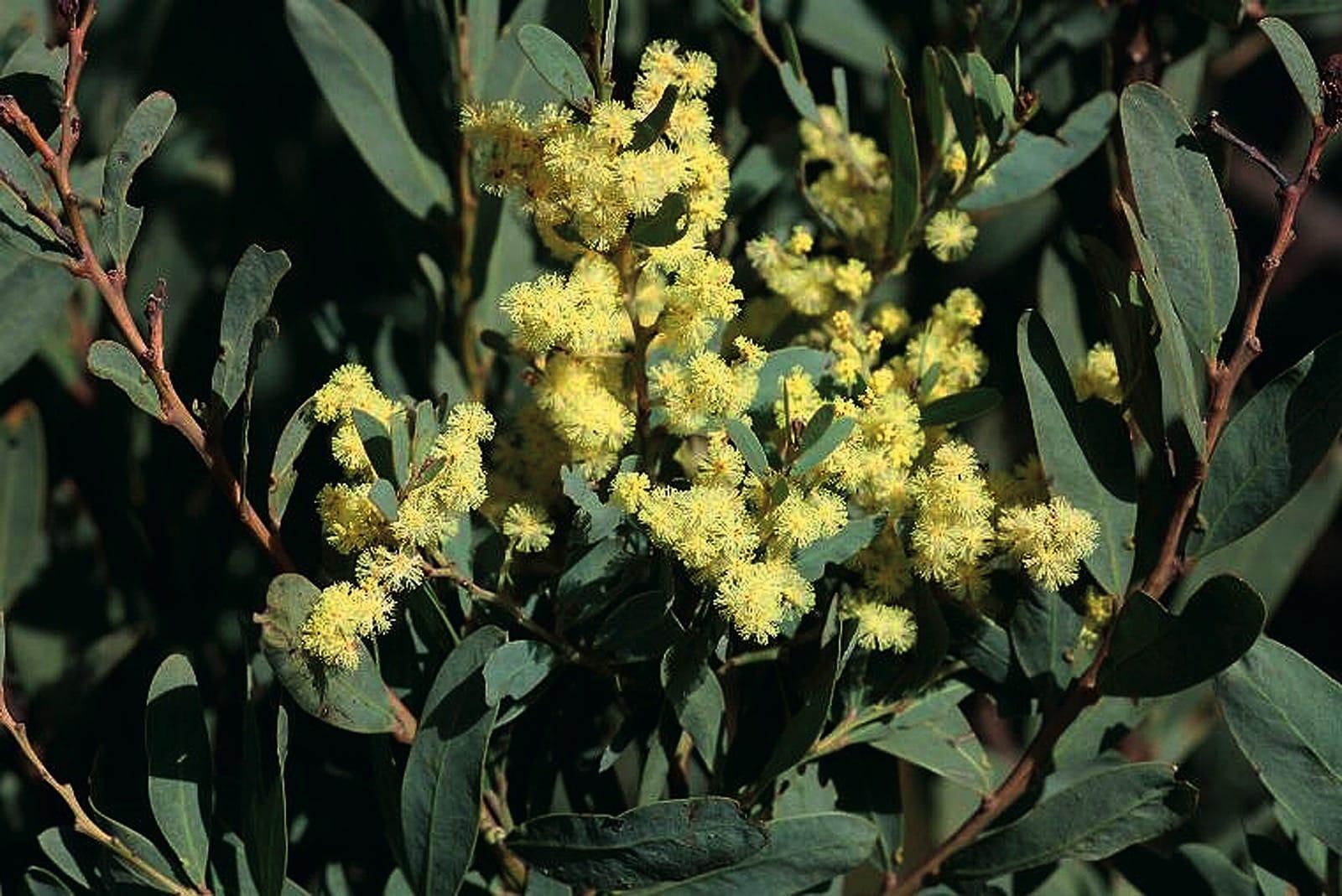 Acacia Pataczekii Trees And Shrubs Online
