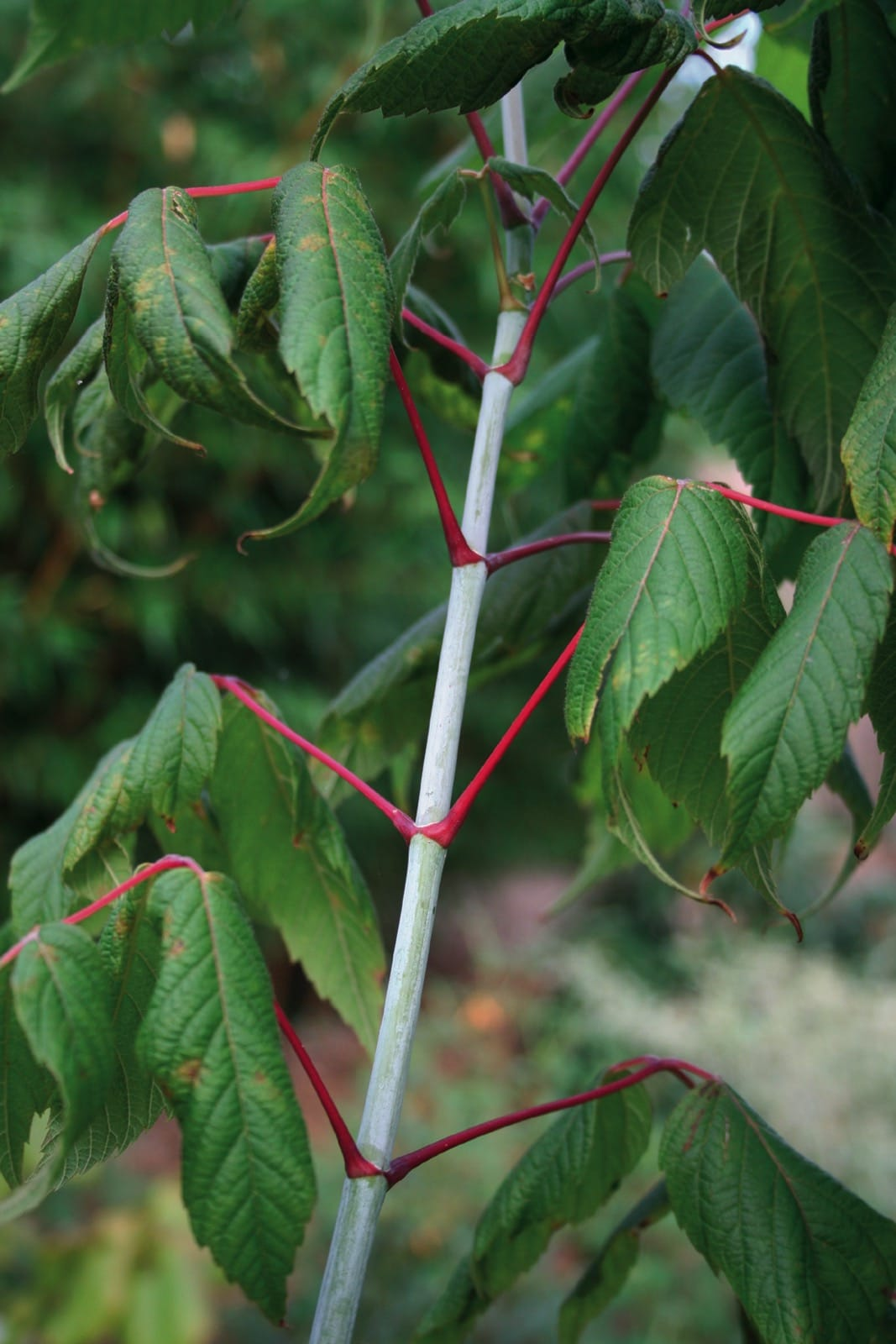 Acer Negundo Trees And Shrubs Online