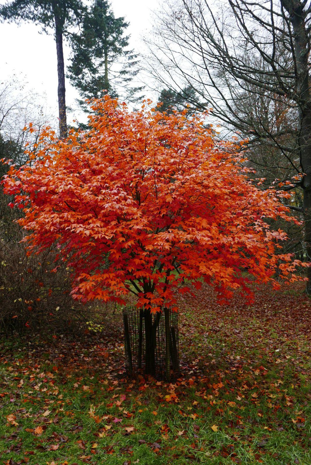 Acer Oliverianum Trees And Shrubs Online