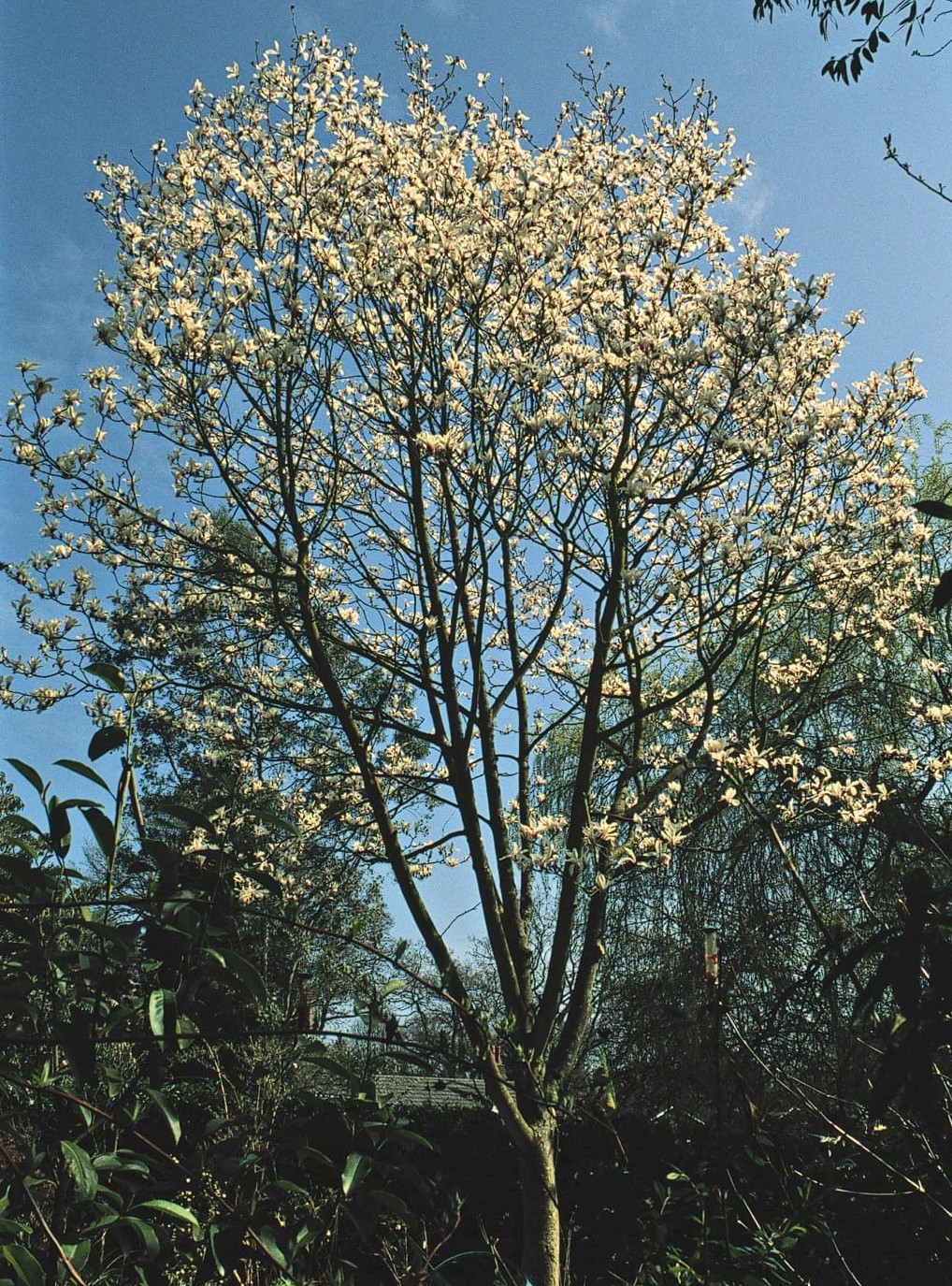 Magnolia Cylindrica Trees And Shrubs Online