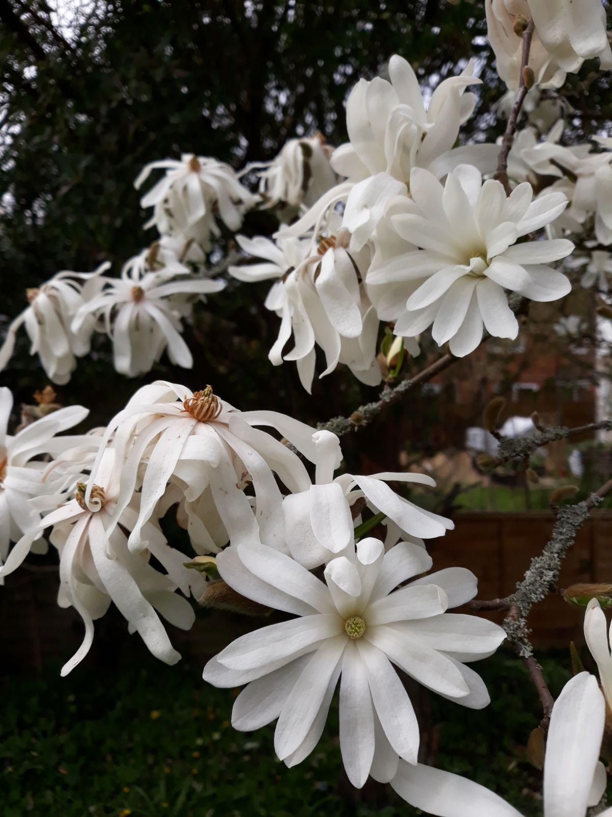 Magnolia Stellata Trees And Shrubs Online