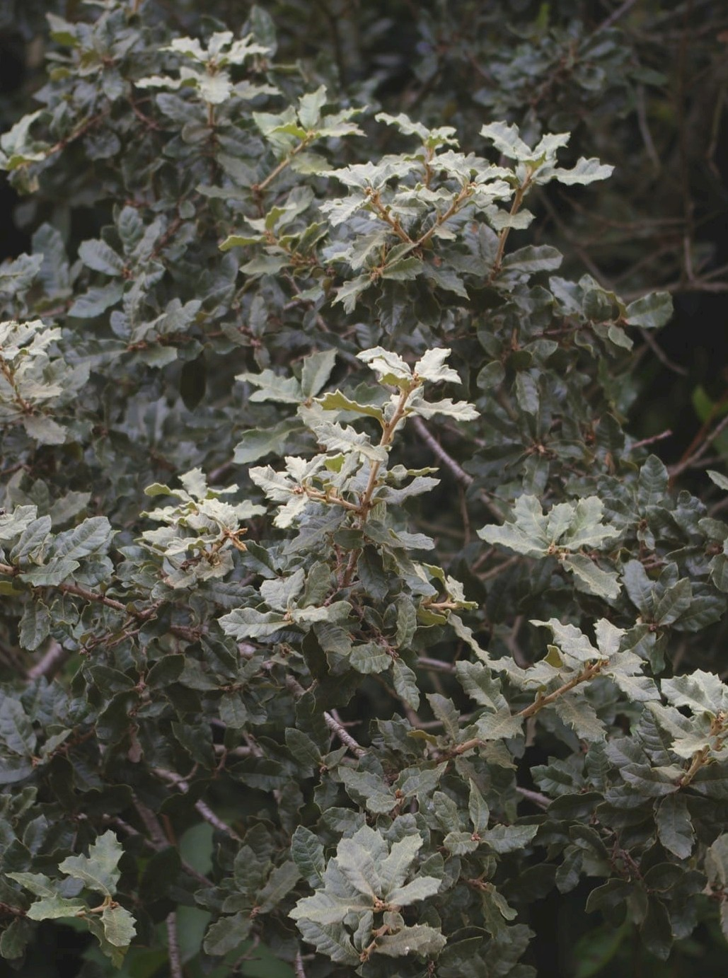 Quercus Rugosa Trees And Shrubs Online