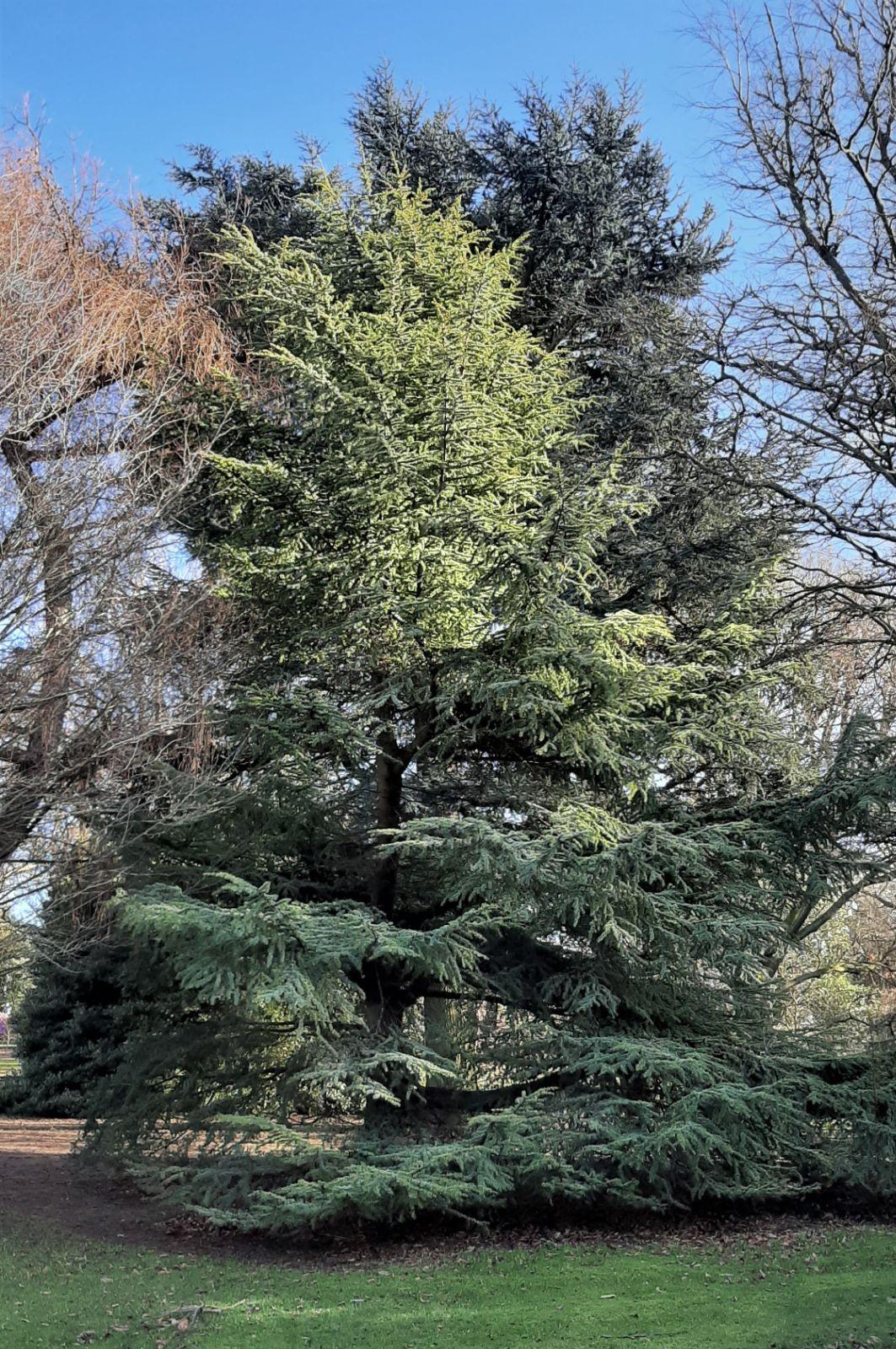 Cedrus Atlantica Alveolus 1 Plant 1 Plant Cedar Dell/'Attlante Coniferous Tree